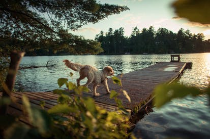 Dog Walking On Dock
