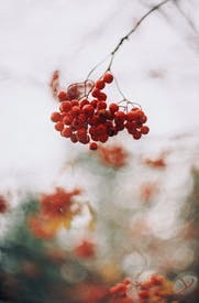 Close Up Of Red Rowanberries On Branch